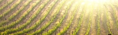 Wijn uit Chablis