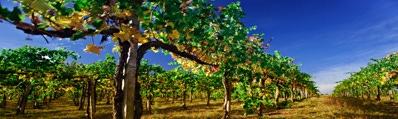 Wijn uit Languedoc-Roussillion